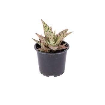 Aloe Pink Bush
