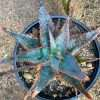 Aloe Fragilis