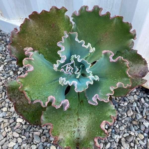 Echeveria Gibiflora